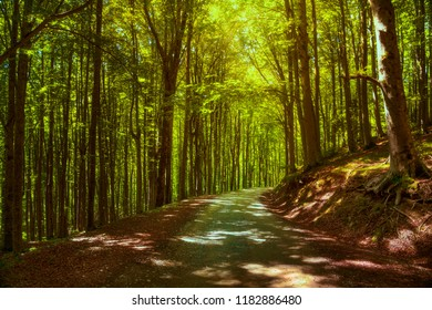 Tree misty forest or beechwood and road. Foreste Casentinesi national park, Tuscany, Italy, Europe
