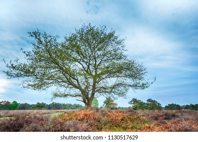 Tree in moorland on the national park Groote Zand near Hooghalen Drenthe during a cloudy  sunset.