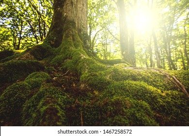 Tree moss roots and sunshine in a green forest. Mistic natural background