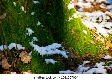 Tree with moss and snow in the forest of Spessart in Bavaria