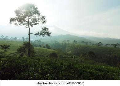 A tree in mountain among tea farm plantation