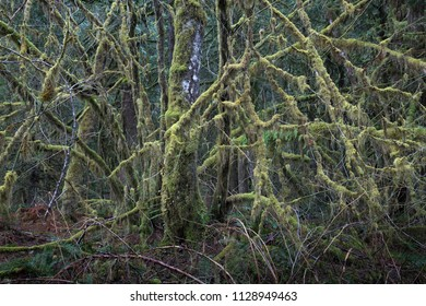 Tree with multiple branches resembling tentacles dripping with moss in temperate rainforest of British Columbia, Canada