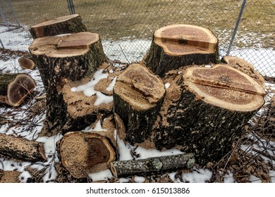 tree with multiple cut trunk stumps