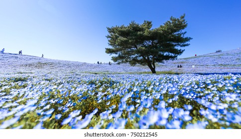 Tree and Nemophila Flower at Hitachi Seaside Park in Spring