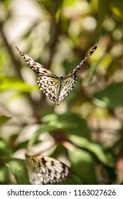 Tree nymph butterfly Idea malabarica in a tropical garden.
