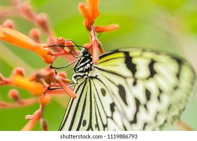 Tree nymph butterfly, macro shot 150mm