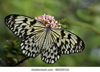 Tree Nymph (Idea Leuconoe)  Butterfly