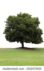 tree on field isolated white backgrounders