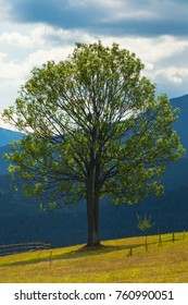 tree on a glade against the backdrop of the mountain. Carpathians in Ukraine