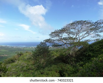 Tree on a hillside overlooking the east shore of Kauai, Hawaii