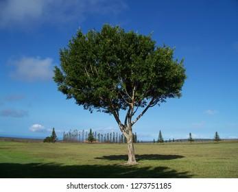 Tree on the island of Lanai, Hawaii