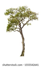 The tree on a isolated white background,clipping paths