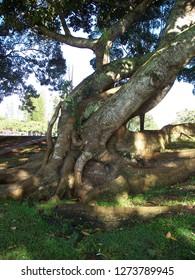 Tree on Lanai in Hawaii