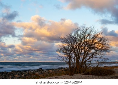 Tree On An Limestone Beach, Gotland Sweden