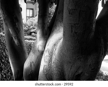 A tree on Lombard Street in San Francisco, many carvings are on it of past romances