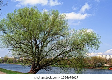 tree on the shore of the pond