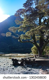 Tree on shoreline with boardwark at Milford Sound, New Zealand
