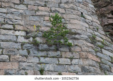 Tree on the stone wall
