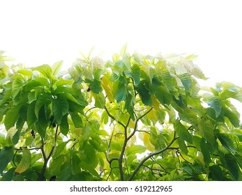 Tree on white background and copy space