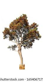 Tree on a white background, Dipterocarpus intricatus tree.