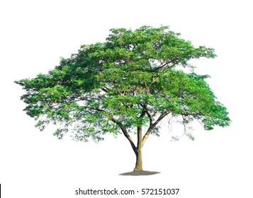 tree on white background of Isolated