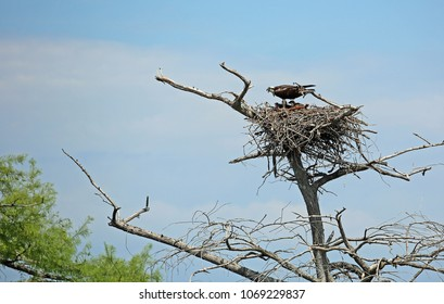 Tree with Osprey nest   -  Reelfoot Lake State Park, Tennessee