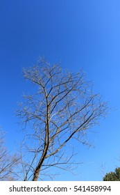 Tree with out leaf on blue sky