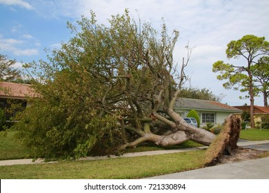Tree Overturned Revealing its Root Cluster and Entire Patch of LawnNext to Home in Boca Raton, Florida after Hurricane Irma