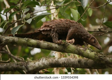 The tree pangolin, also known as the white-bellied pangolin or three-cusped pangolin, it is the most common of the African forest pangolins. The species is endangered due to poaching and habitat loss.