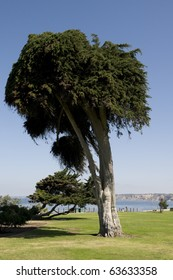 Tree at Park in La Jolla California with Grass and Blue Sky.