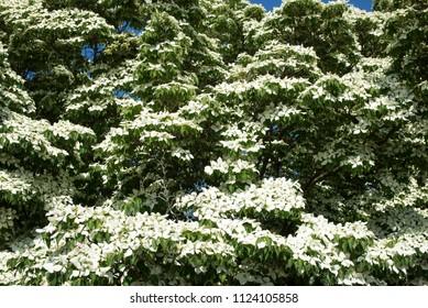 Tree, park tree in white blossom
