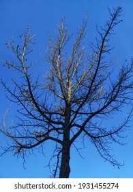 a tree partially lit from the sunlight seen from the bottom against the blue sky, yet no leafs