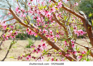 tree with peach blossoms
