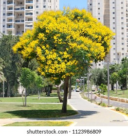 Tree Peltoforum with bright yellow flowers and small openwork leaves in the park of Holon city