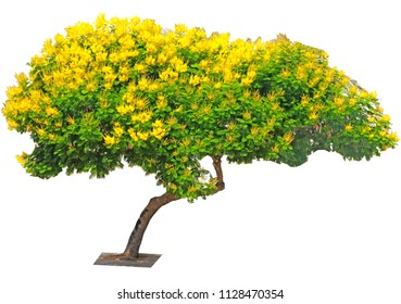Tree Peltoforum with bright yellow flowers and small openwork leaves in the street of Holon.