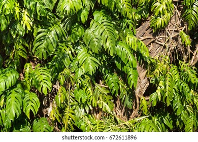 Comb-leaf Philodendron Images, Stock Photos & Vectors