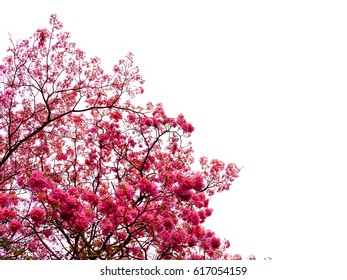 Tree with pink flowers on white background.