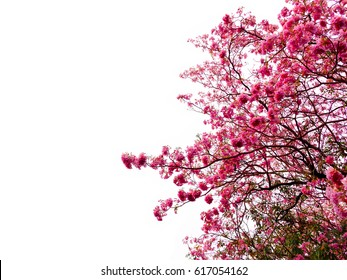 Tree with pink flowers on white background