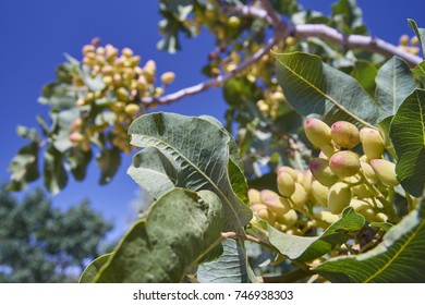 Tree of Pistacia vera (Pistachio)
