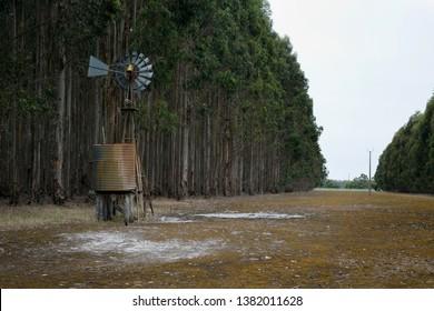 Tree plantation of blue gums near Horsham, in rural Victoria, Australia.