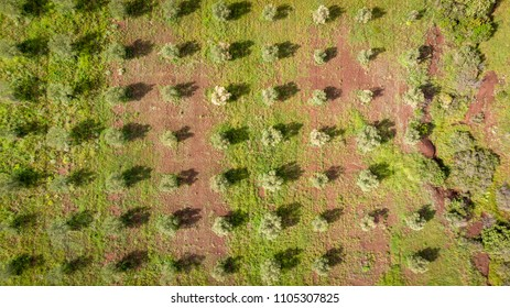 tree planting lines of an olive grove