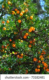 Tree with plenty of oranges.