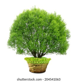 tree in pot isolated on white background