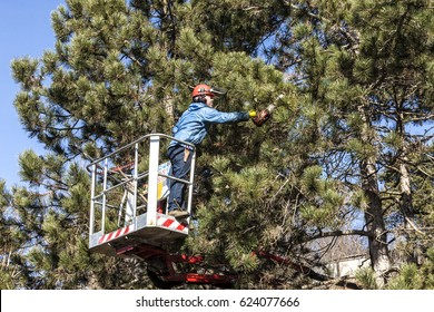 Tree pruning by a man with a chainsaw, standing on a mechanical platform, on high altitude between the branches of austrian pines. Cutting unnecessary branches of the tree