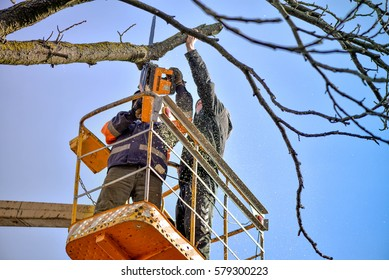 Tree pruning and sawing by a man with a chainsaw, standing on a platform of a mechanical chair lift, on high altitude between the branches of old, big oak tree. Branches, timbers and sawdust falling