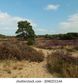 The tree with purple heather