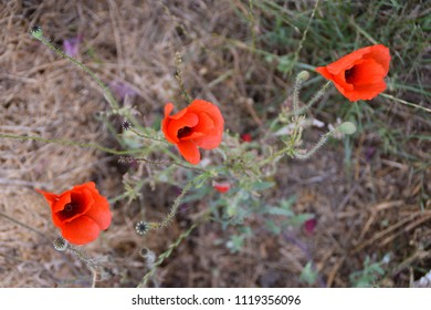 Tree red poppies flowers