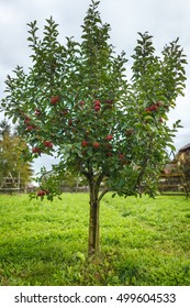 Tree with red ripe apples in an orchard at harvest time