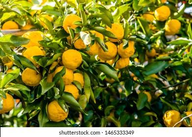 Tree with ripe fruits of Japanese citron Yuzu