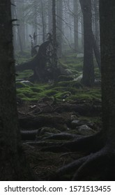 Tree root in a foggy forest of the Carpathians